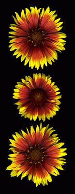 Fanfare Trio Poster by Deborah J Humphries