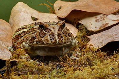 Poster featuring the photograph Fantasy - Horned Frog by Nikolyn McDonald