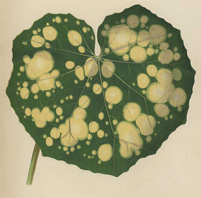 Farfugium Grande  Leopard Plant, Green Leopard Plant Poster by English School