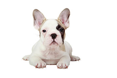 Fawn Pied French Bulldog Puppy Poster
