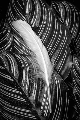 Feather On Calatheas Leaves Poster by Garry Gay