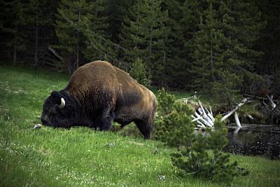 Poster featuring the photograph Feeding Buffalo by Jason Moynihan