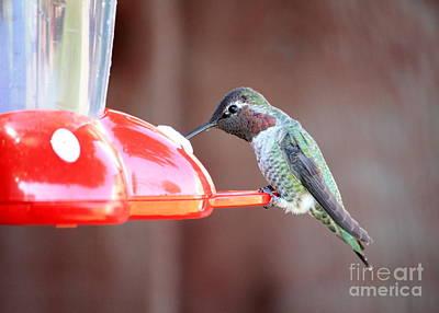 Feeding Hummingbird Poster by Carol Groenen