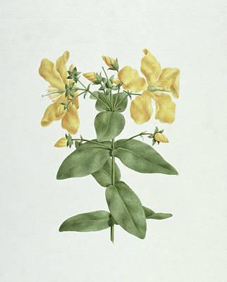Feel-fetch - Hypericum Quartinianum Poster by James Bruce