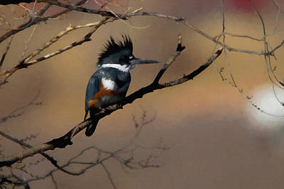 Poster featuring the digital art Female Belted Kingfisher by Ernie Echols