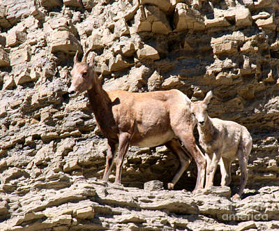 Female Bighorn Sheep With Juvenile Poster