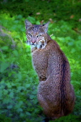Female Bobcat Poster by Mark Andrew Thomas