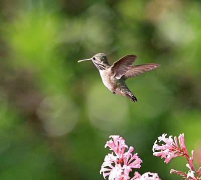 Female Calliope Hummingbird Poster