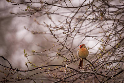 Poster featuring the photograph Female Cardinal In Spring 2017 by Terry DeLuco