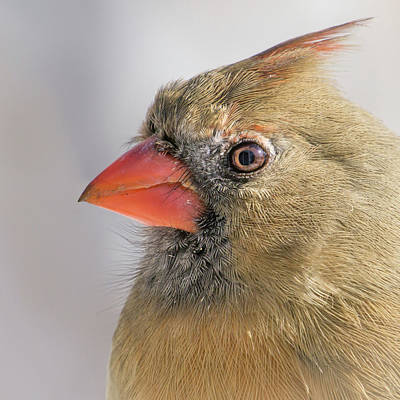 Female Cardinal Portrait Poster by Jim Hughes
