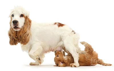 Female Cocker Spaniel And Cockapoo Puppy Poster