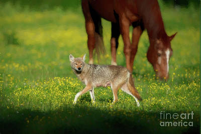 Female Coyote Cautiously Walking In Field With Horses Poster by Dan Friend