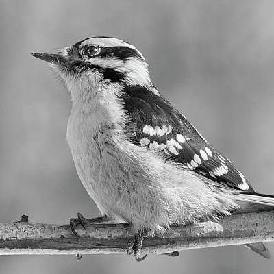 Female Downy Woodpecker In Winter Poster by Jim Hughes