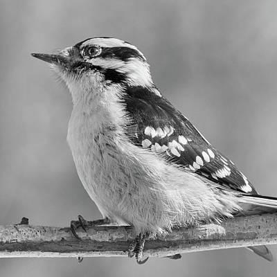 Female Downy Woodpecker In Winter Poster