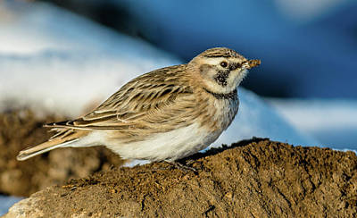 Female Horned Lark Poster by Yeates Photography