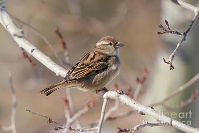 Female House Sparrow Poster