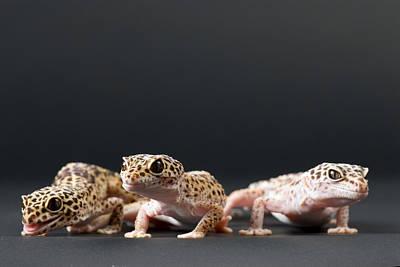 Female Leopard Geckos Eublepharis Poster by Joel Sartore