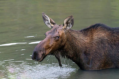 Poster featuring the photograph Female Moose Head by James BO Insogna