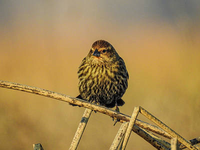 Female Red-winged Blackbird  Poster
