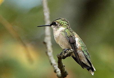 Female Ruby-throated Hummingbird On Branch Poster