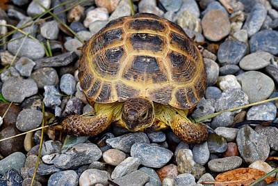 Female Russian Tortoise Poster