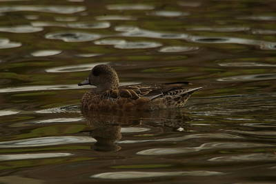 Poster featuring the photograph Female Wigeon by Jeff Swan