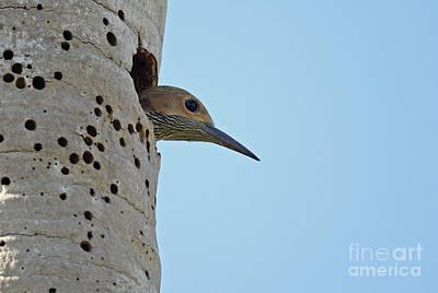 Fernandinas Flicker In Nest Poster