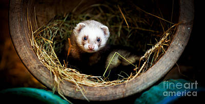 Ferret Home In Flower Pot  Poster