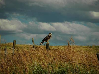 Ferruginous Hawk Poster by Daniel Hebard