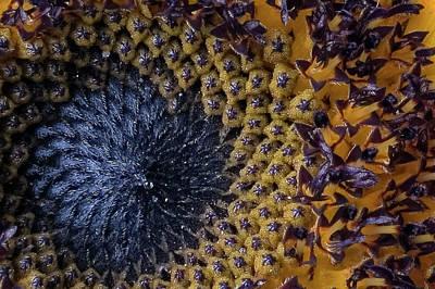 Fibonacci's Sunrise Poster