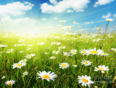 Field Of Daisy Flowers Poster by Caio Caldas