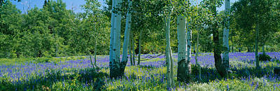 Field Of Lupine And Aspen Trees Poster by Panoramic Images