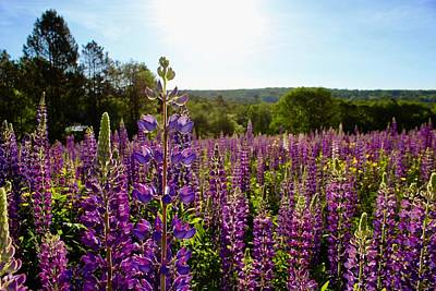 Field Of Lupines 1 Poster