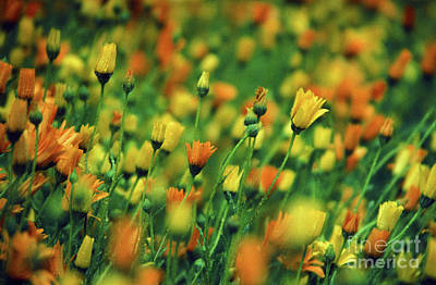 Field Of Orange And Yellow Daisies Poster