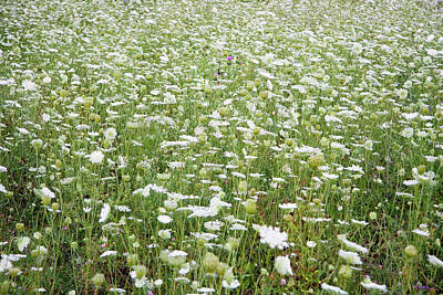 Field Of Queen Annes Lace Poster