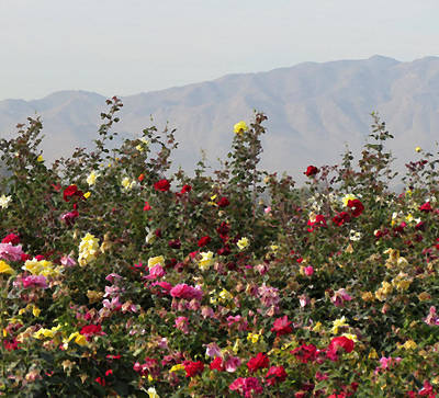 Poster featuring the photograph Field Of Roses by Laurel Powell