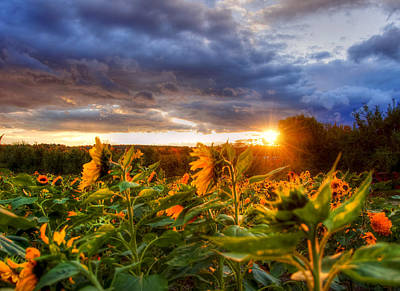Field Of Sunflowers At Sunset Poster by Joann Vitali