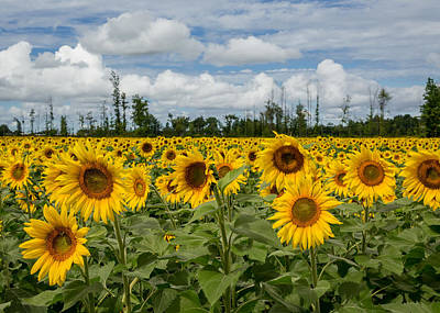 Field Of Sunflowers Poster by Dale Kincaid