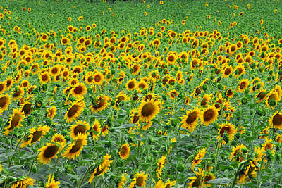 Field Of Sunflowers In Bloom Poster by Anne Keiser