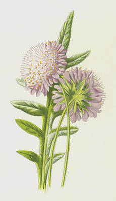 Field Scabious Poster by Frederick Edward Hulme