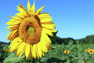 Fields Of Sunshine Poster by Elaine Nadon