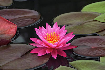 Fiery Beauty Of A Waterlily Poster by Byron Varvarigos