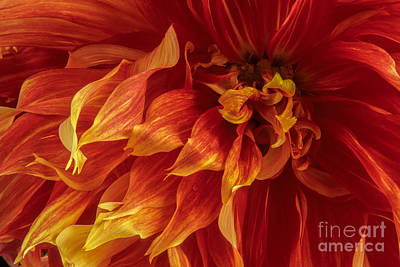 Fiery Dahlia Poster by Chris Scroggins