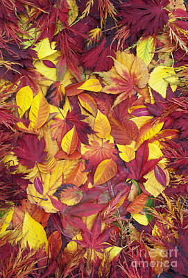 Fiery Autumnal Foliage Poster