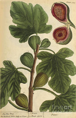 Fig Tree, Medicinal Plant, 1737 Poster