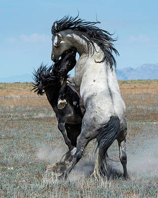 Poster featuring the photograph Fighting Black And Gray Stallions by Mary Hone