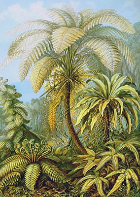 Filicinae Ferns Poster by Ernst Haeckel