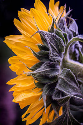 Filtered Sunflower Poster by Arlene Carmel