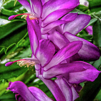 Poster featuring the photograph Fine Wine Cafe Christmas Cactus Flower by Aimee L Maher Photography and Art Visit ALMGallerydotcom