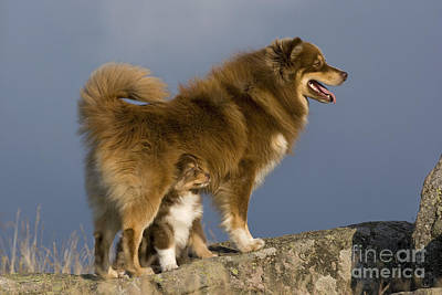 Finnish Lapphund And Pup Poster by Jean-Louis Klein & Marie-Luce Hubert